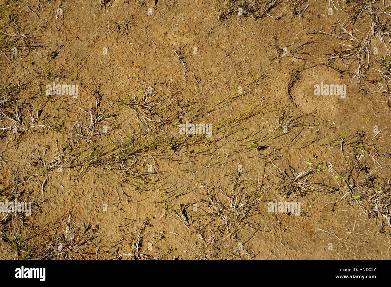 Rhizome Lines in Mud - Stock Image