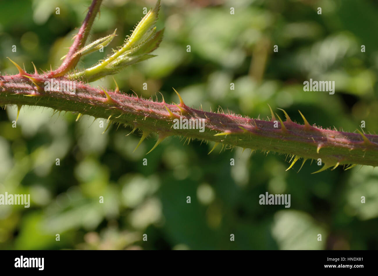 Rubus ordovicum, stem with spines and glands - Stock Image