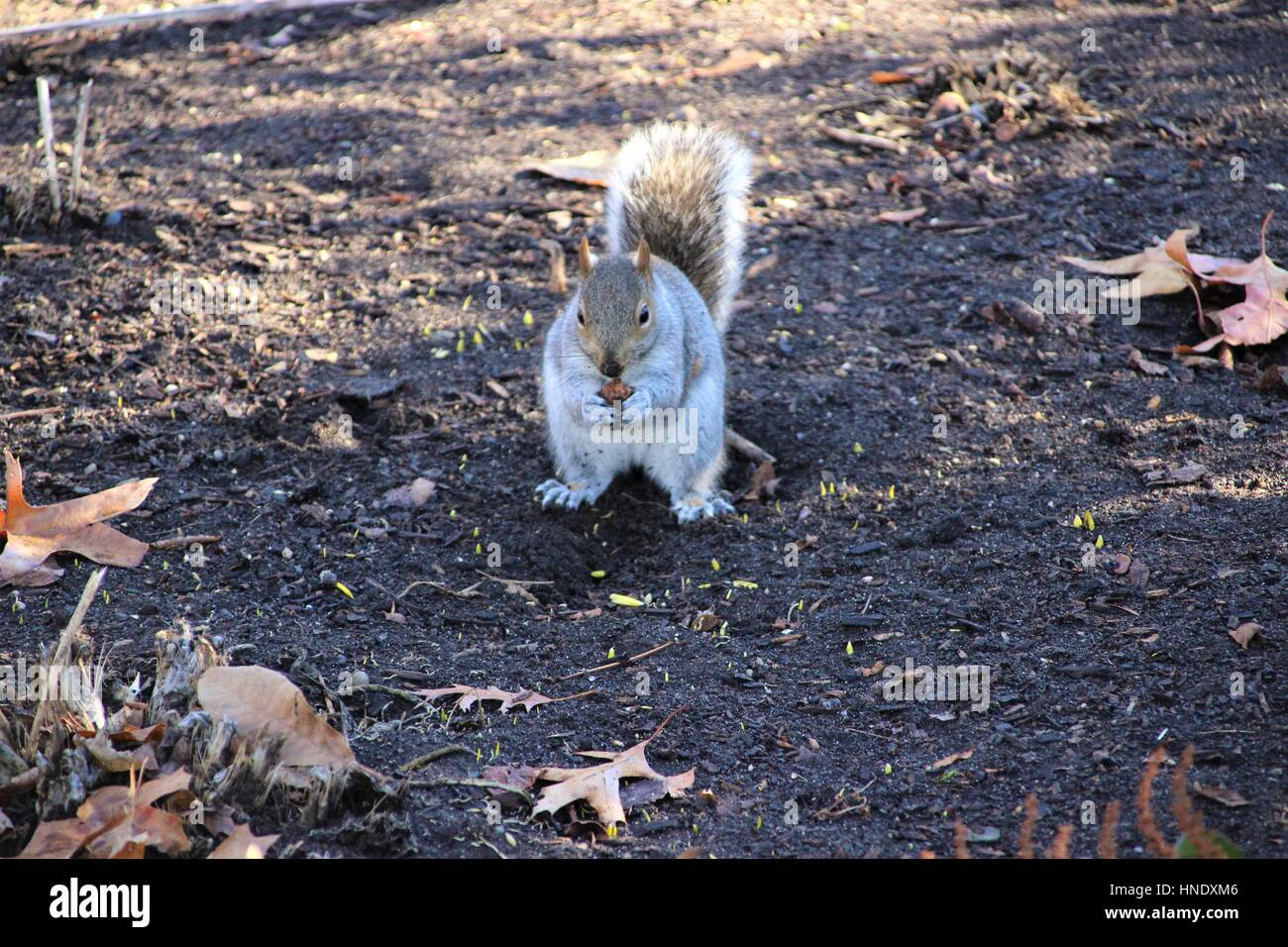 Eastern grey squirrel (Sciurus carolinensis) eating a nut in Central Park, Manhattan, New York City, United States - Stock Image