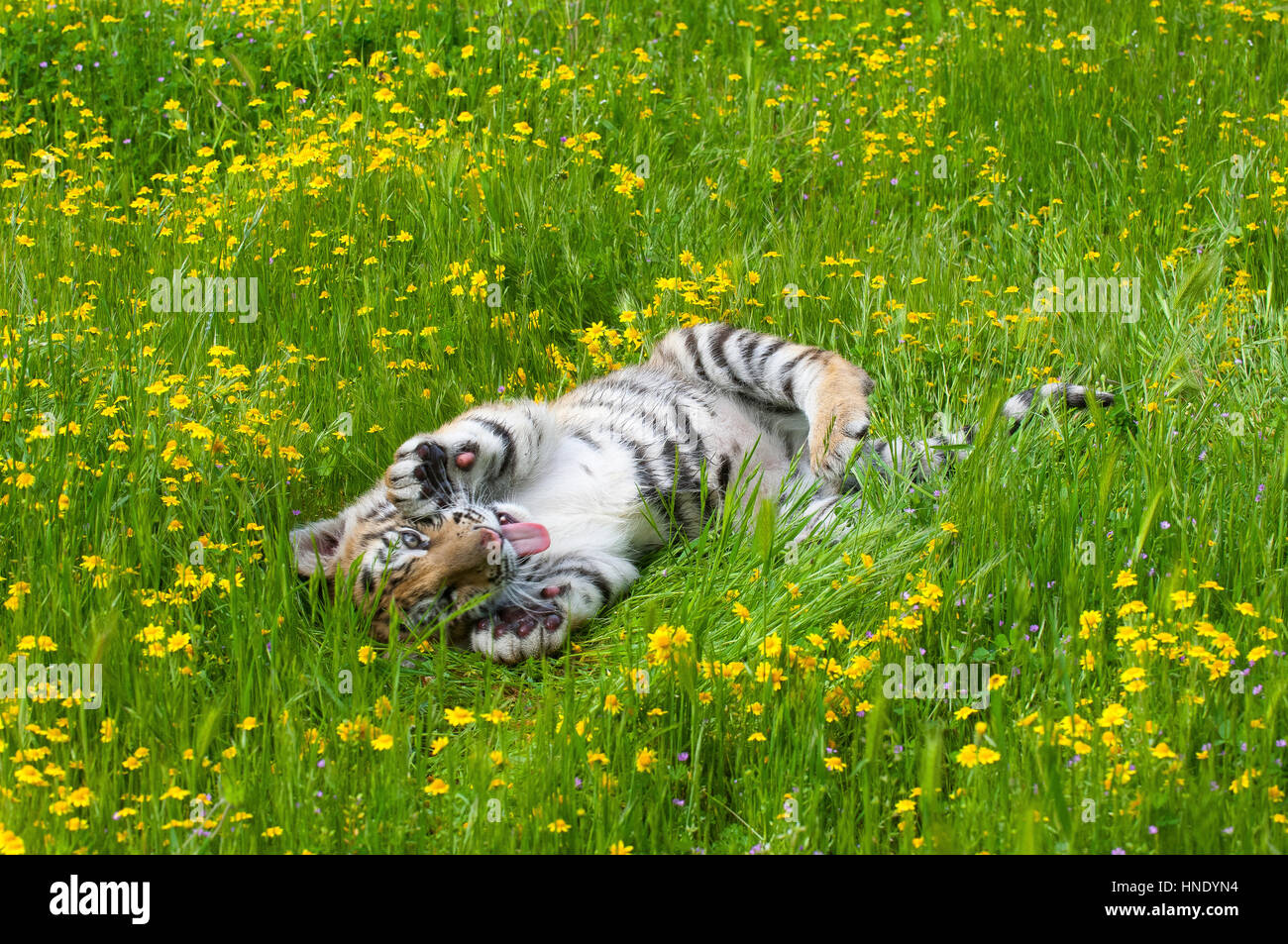 Amur Siberian Tiger Kitten Playing In Yellow And Green Flowers