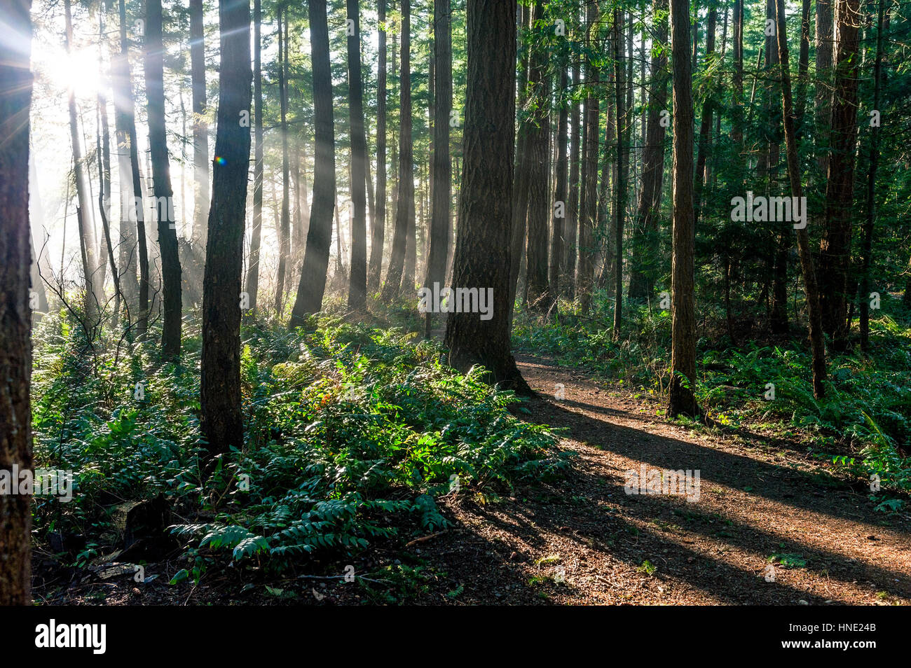 Sun bean light rays shine through evergreen boreal forest - Stock Image