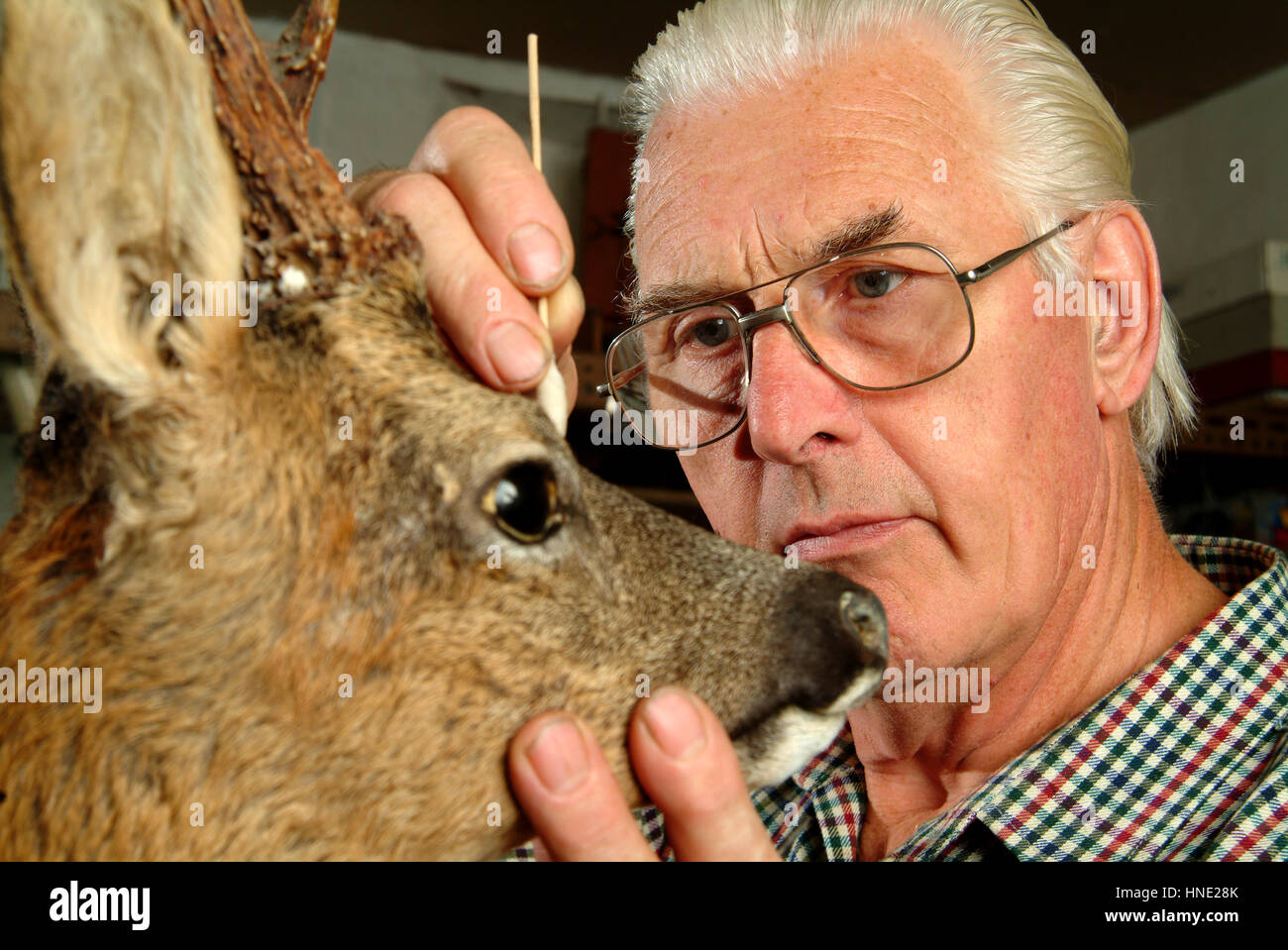 Taxidermist Bob Reid at work mounting a large deer and showing a Herring gull and a selection of artificial animal - Stock Image