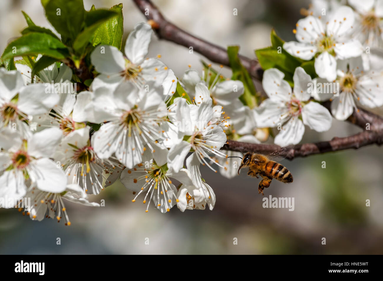 Bee flies towards white flowers on flowering trees to collect pollen. Stock Photo