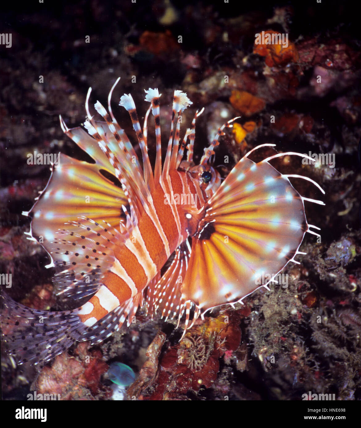 A zebra lionfish (Dendrochirus zebra) with fully extended fan-like pectoral fins, attached to which are numerous - Stock Image