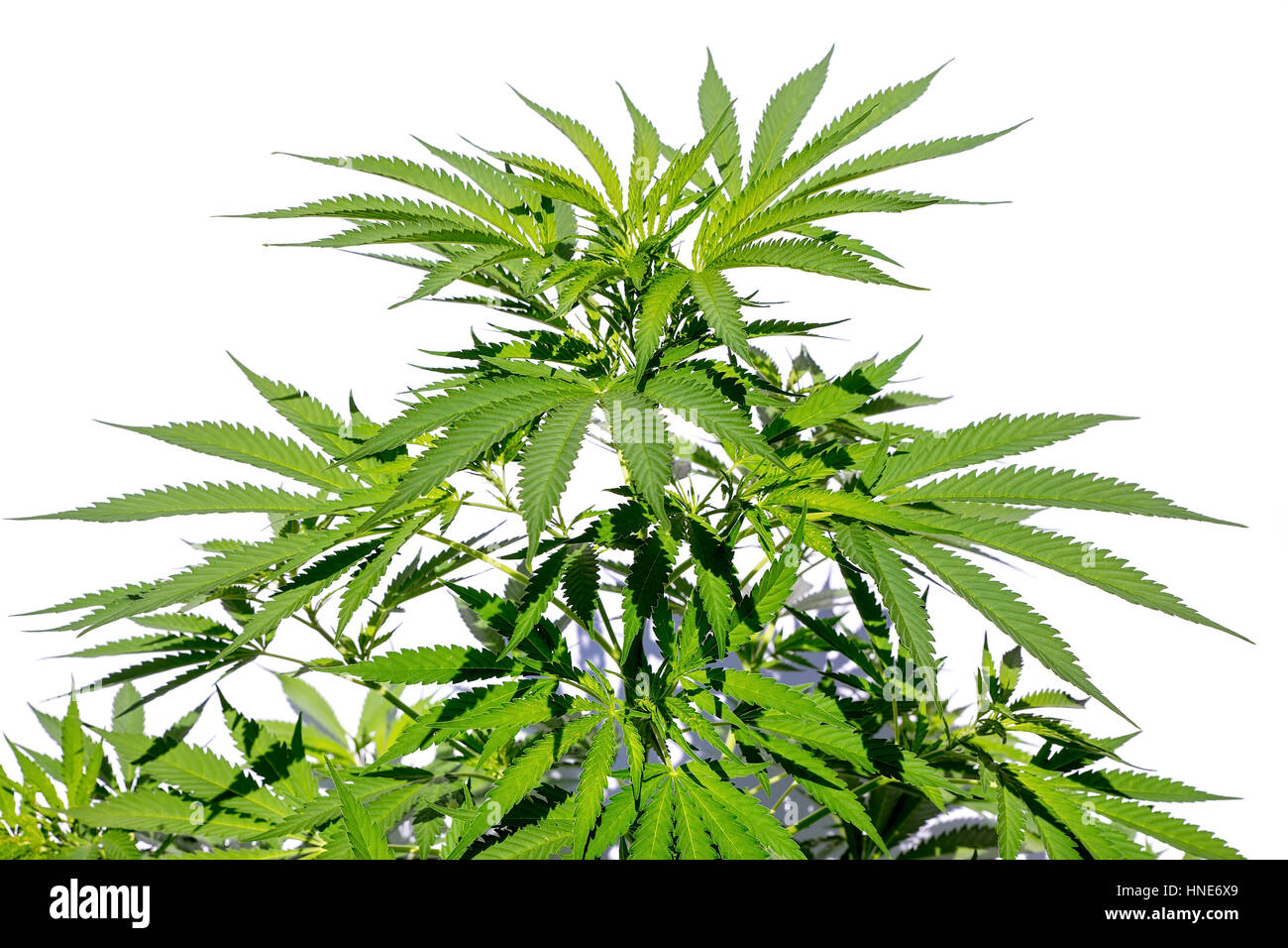 Cannabis or weed plant isolated on white background - Stock Image