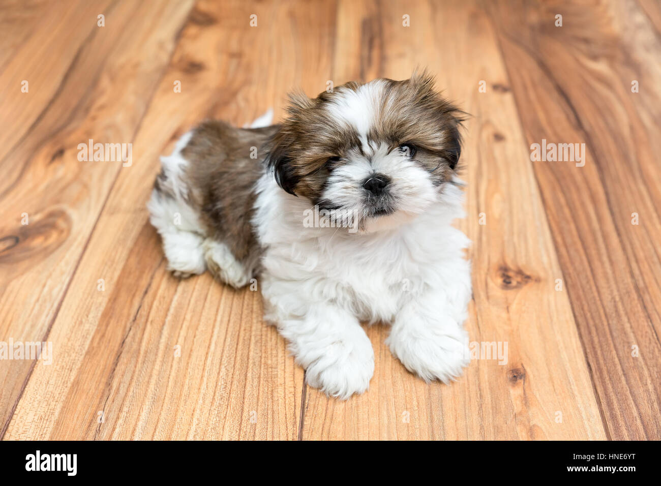 Young Chi Chu puppy lying on parquet flooring - Stock Image