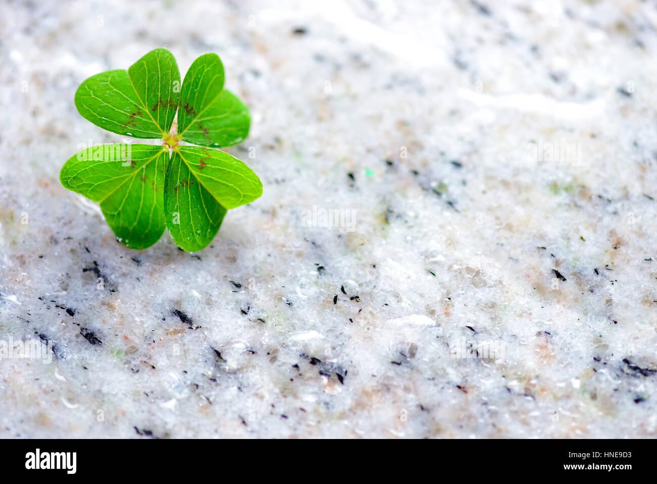 4-leaved cloverleaf, four-leafed clover (Oxalis tetraphylla), luck symbol, Vierblättriges Kleeblatt, Glücksklee Stock Photo
