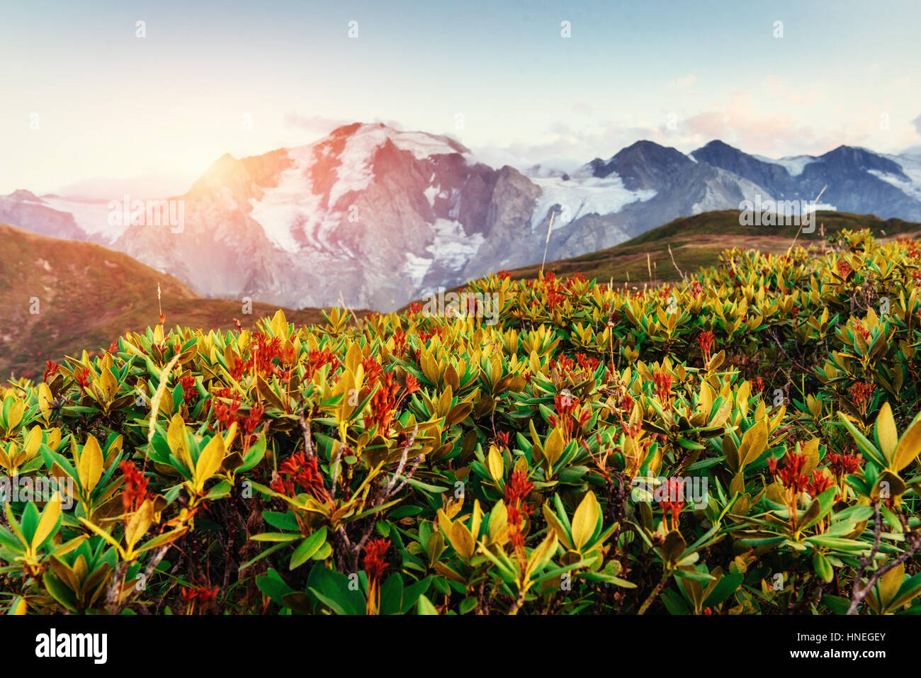Blooming rhododendron flowers in Caucasus mountains. Upper Svane - Stock Image