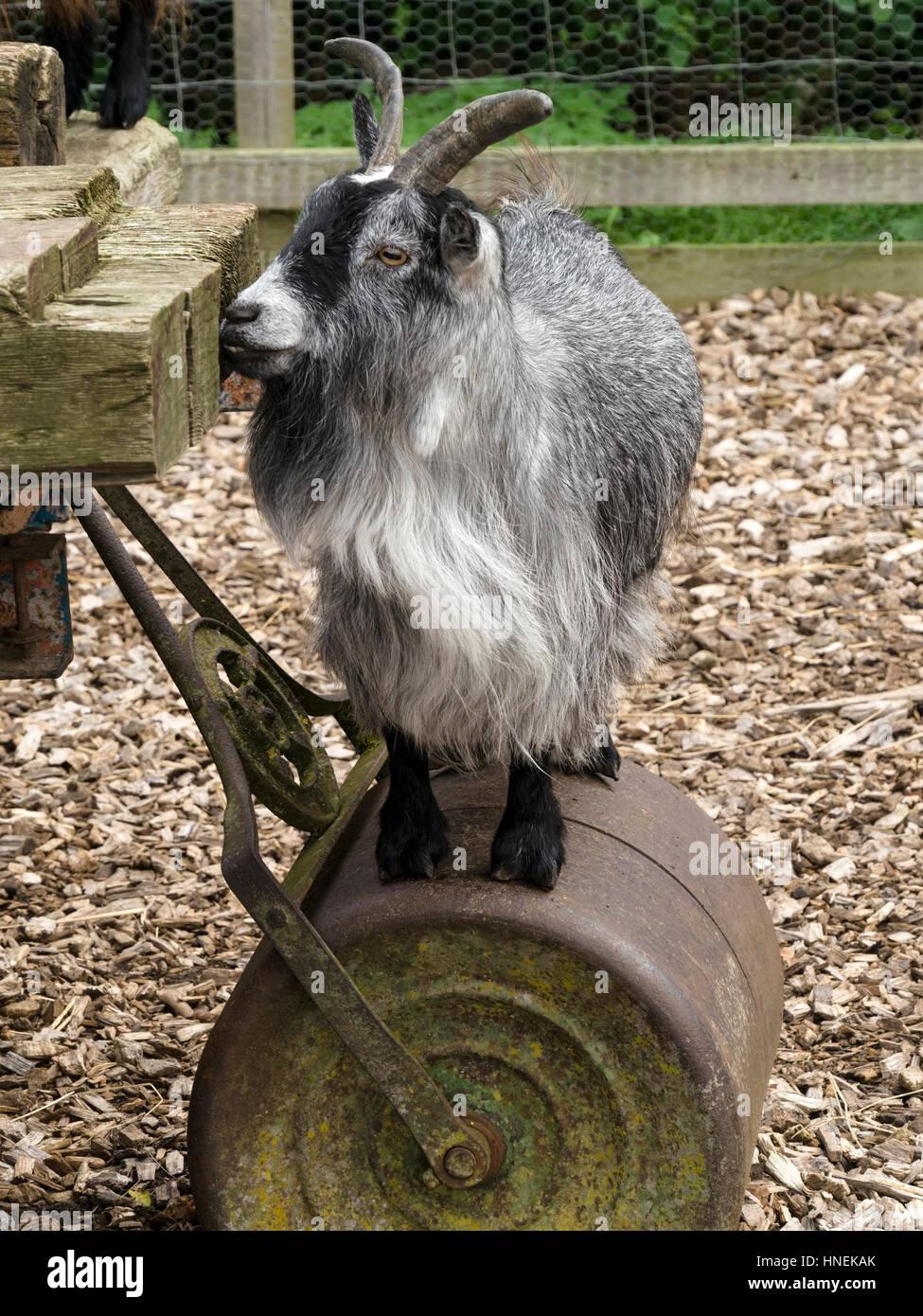 Small pygmy goat standing on garden roller, England, UK - Stock Image