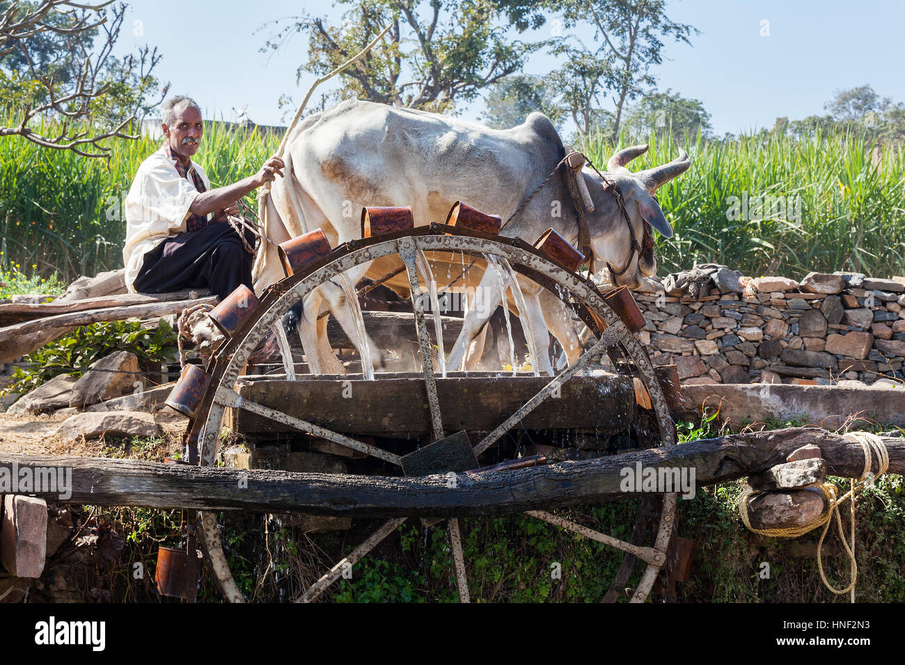 KUMBHALGARH, INDIA - JANUARY 17, 2015: A farmer works a pair of oxen to drive a water wheel in rural Rajasthan. - Stock Image