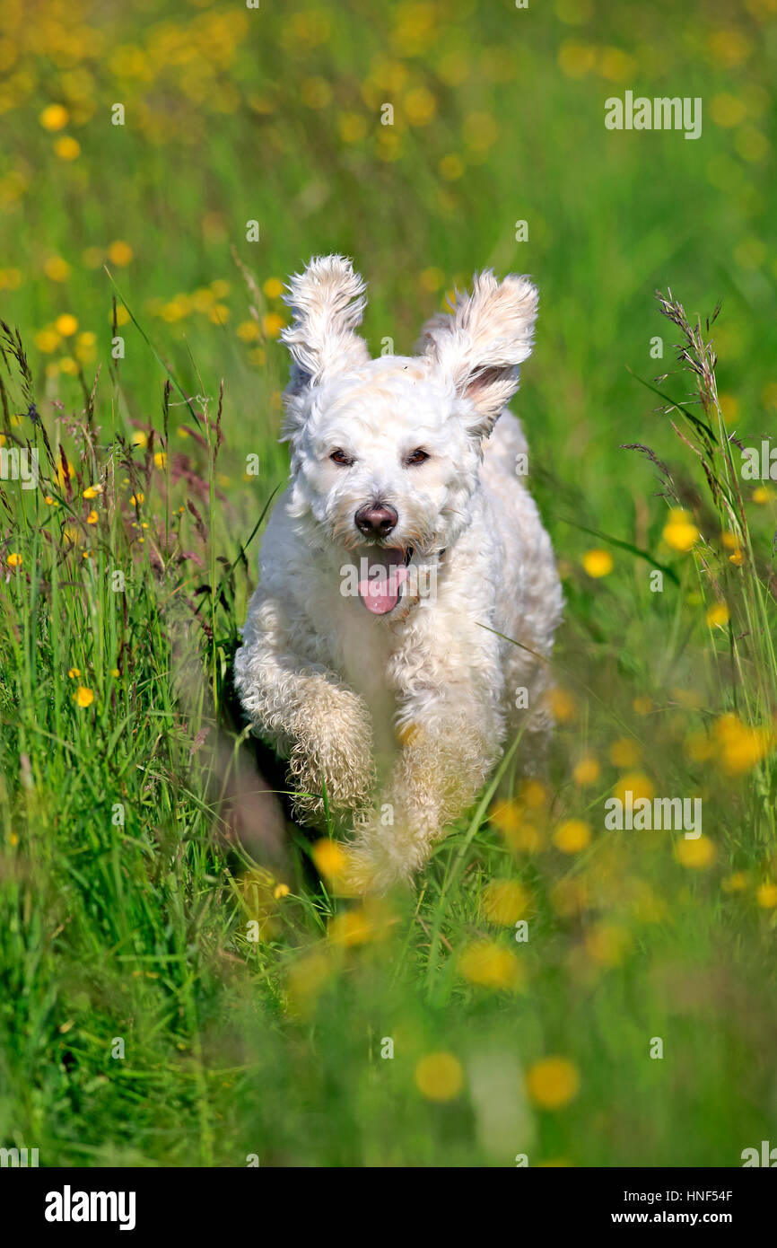 Labradoodle, (Canis lupus familiaris), adult male running in meadow, Rhineland-Palatinate, Germany, Europe - Stock Image