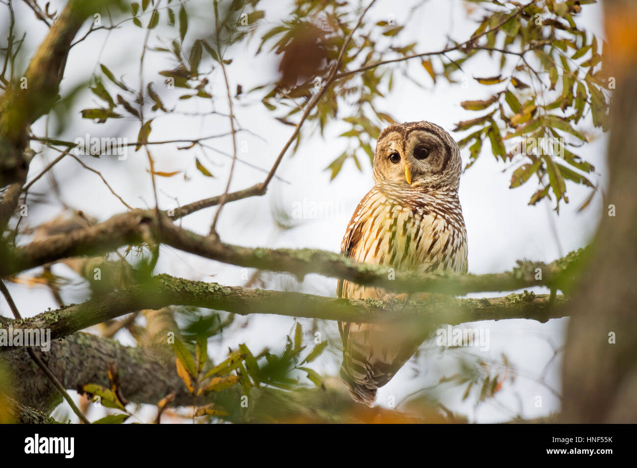 A Barred Owl sits in a tree as the early morning sunlight shines on it showing off its large eyes. - Stock Image