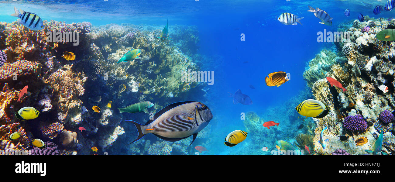 Colorful coral reef fishes of the Red Sea. - Stock Image