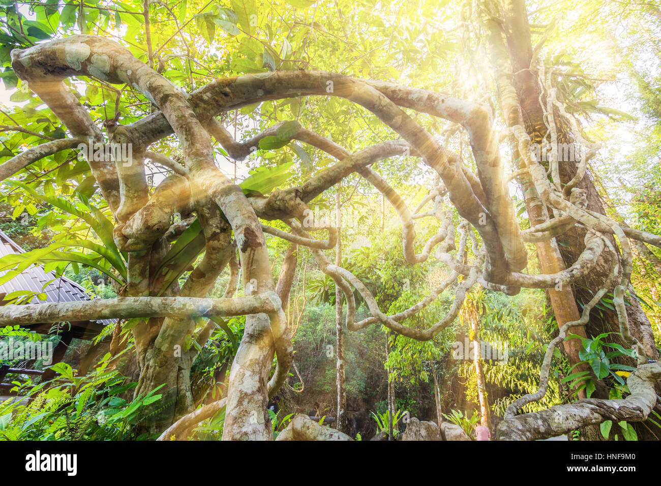 Sunrise with vine tree in forest - Stock Image