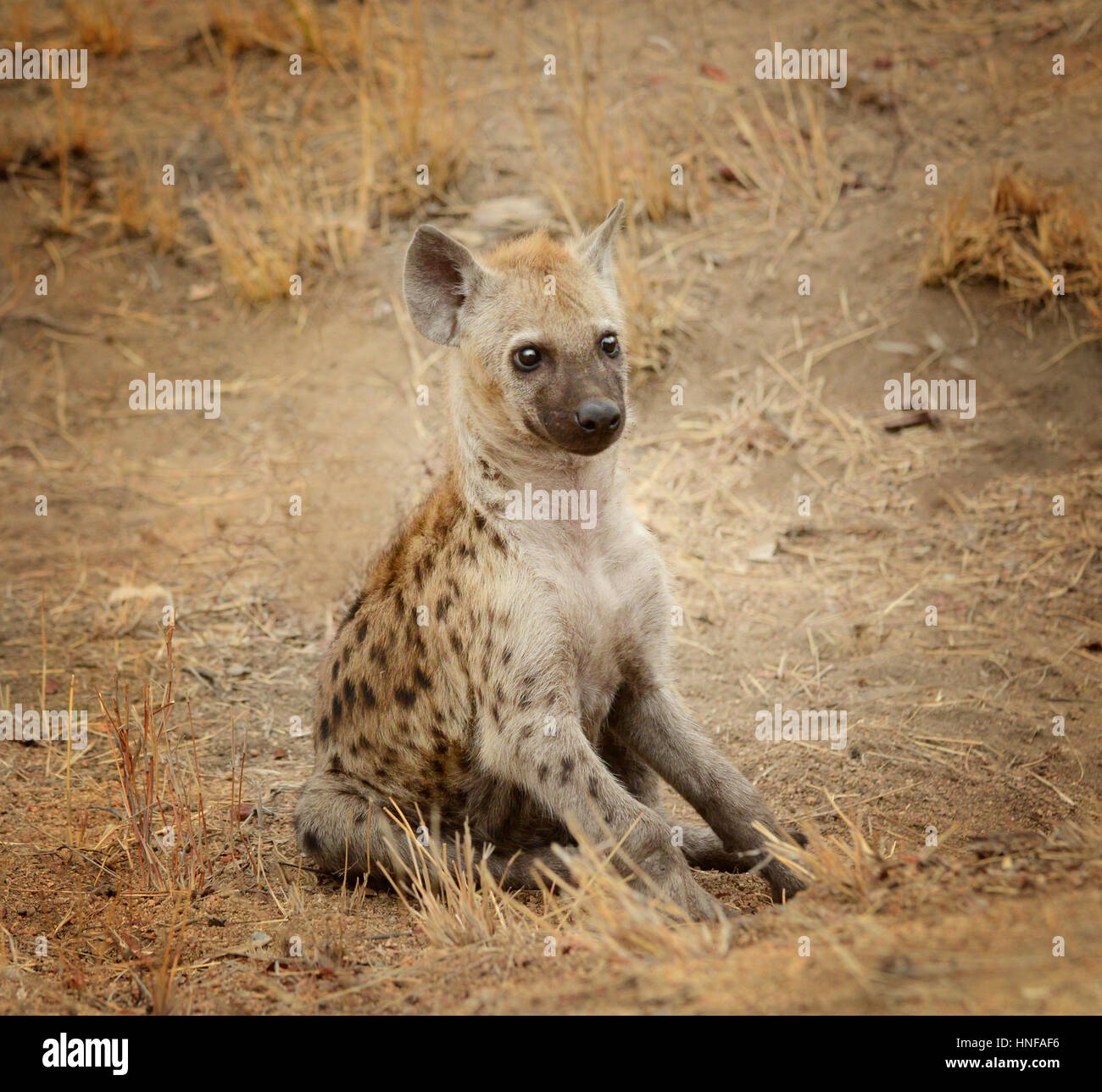 Young hyena pup in Kruger National Park in South Africa watching her surroundings - Stock Image