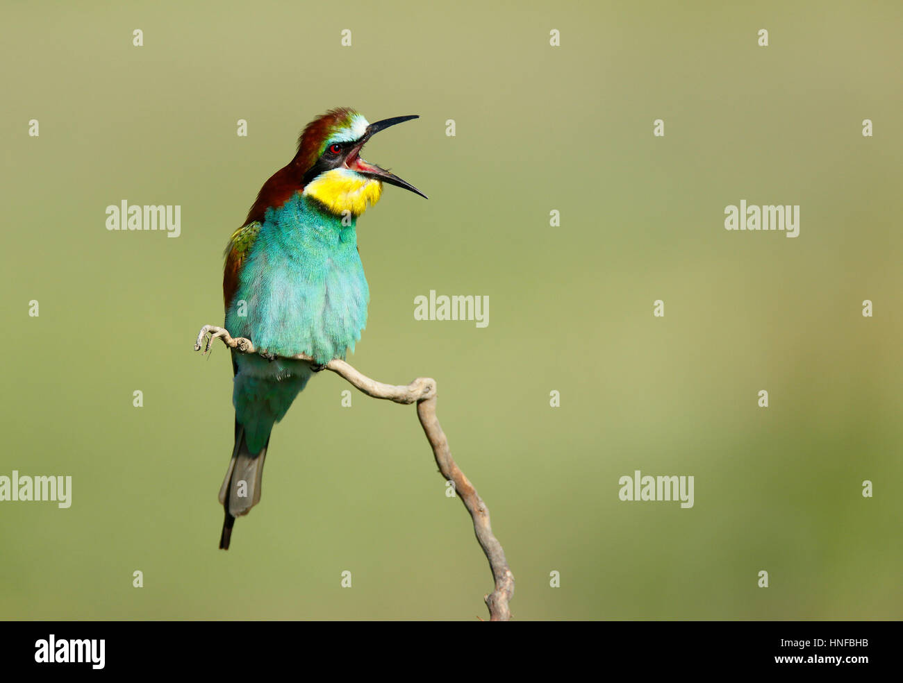 European Bee-eater, Bulgaria Stock Photo