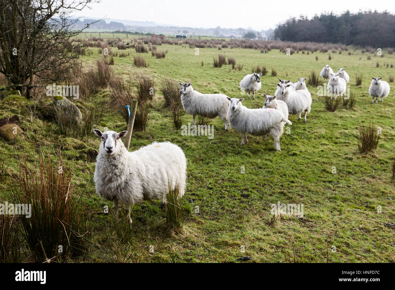flock of sheep in a field ballymena, county antrim, northern ireland, uk - Stock Image