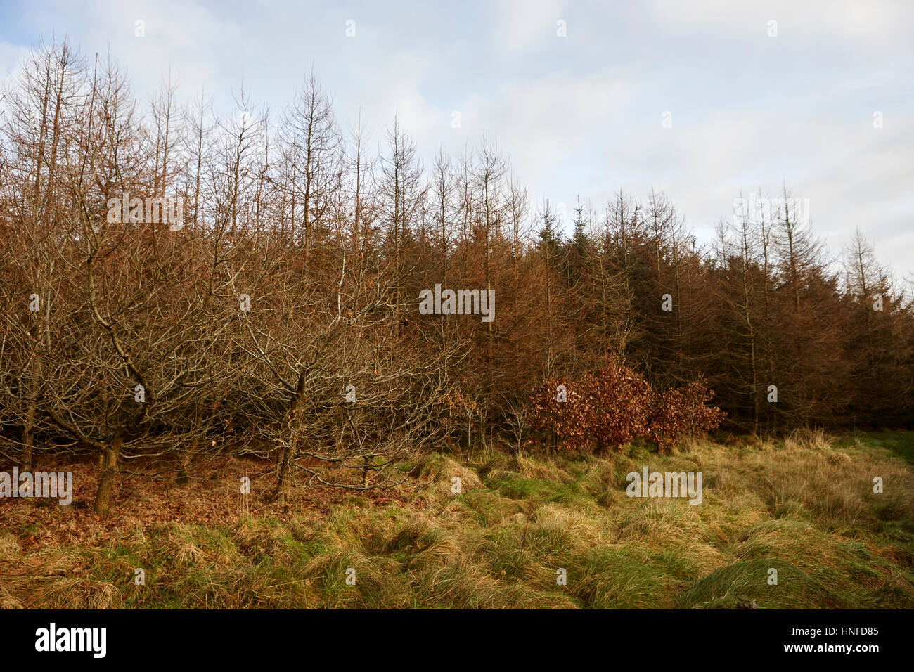 various screen trees on the windward side of small patch of evergreen sitka spruce woodland ballymena, county antrim, - Stock Image
