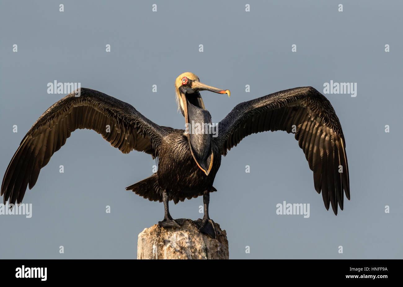 Brown pelican (Pelecanus occidentalis) yawning, Galveston, Texas, USA. - Stock Image