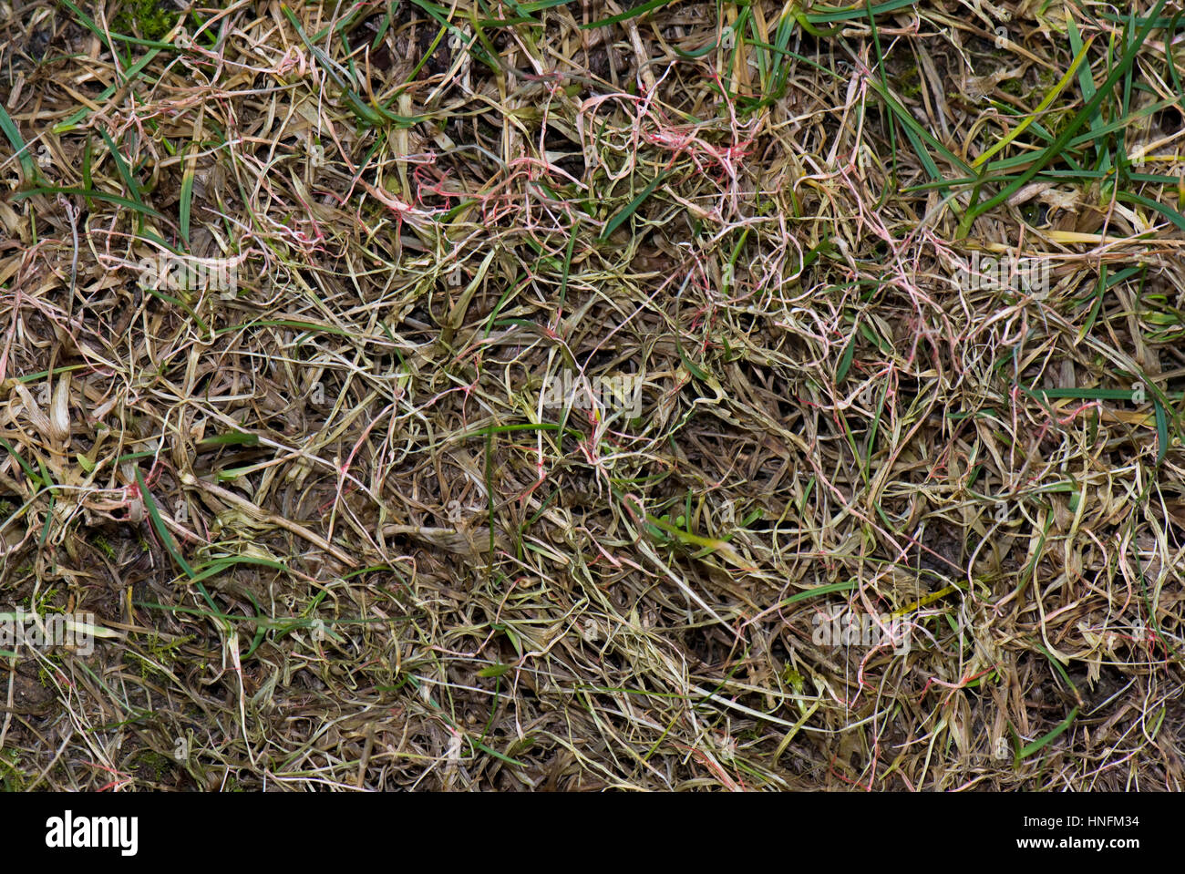 Red thread, Laetisaria fuciformis, damage and stromata from the disease on lawn grass - Stock Image