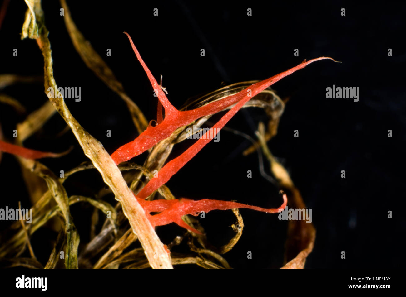 Red thread, Laetisaria fuciformis, red thread-like stromata from the disease on lawn grass - Stock Image