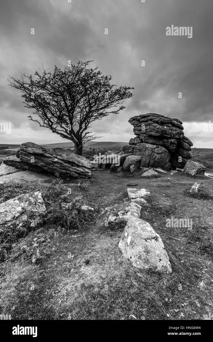 Windswept hawthorn tree and tor at Howell Tor, Dartmoor - Stock Image