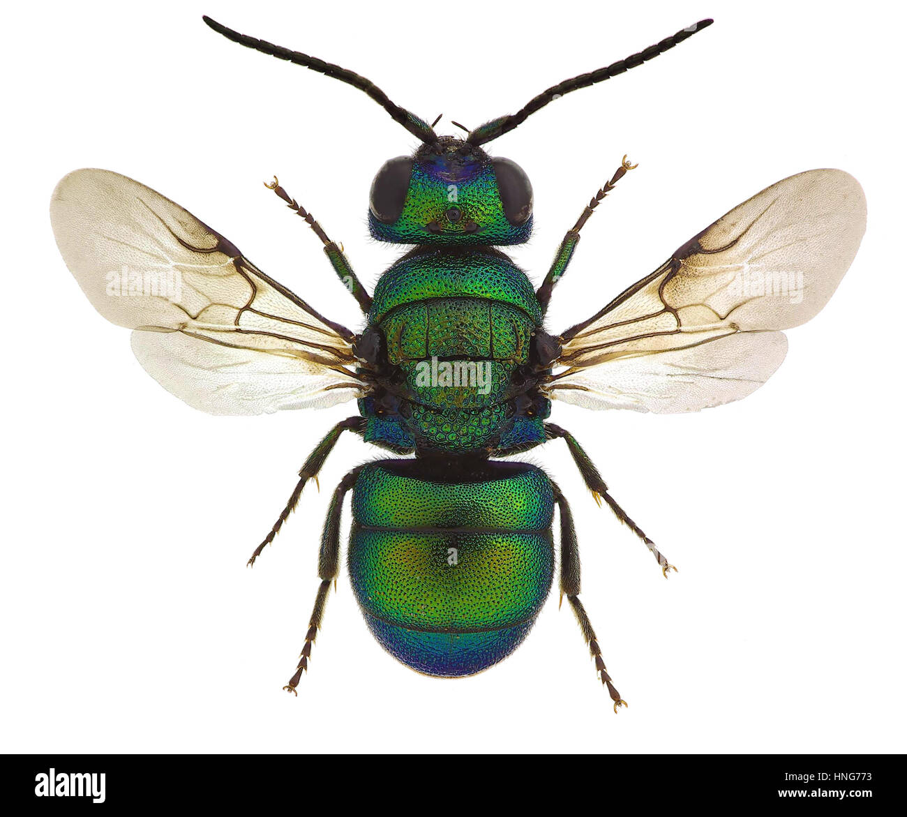 Holopyga fervida, a cuckoo wasp from Europe - Stock Image