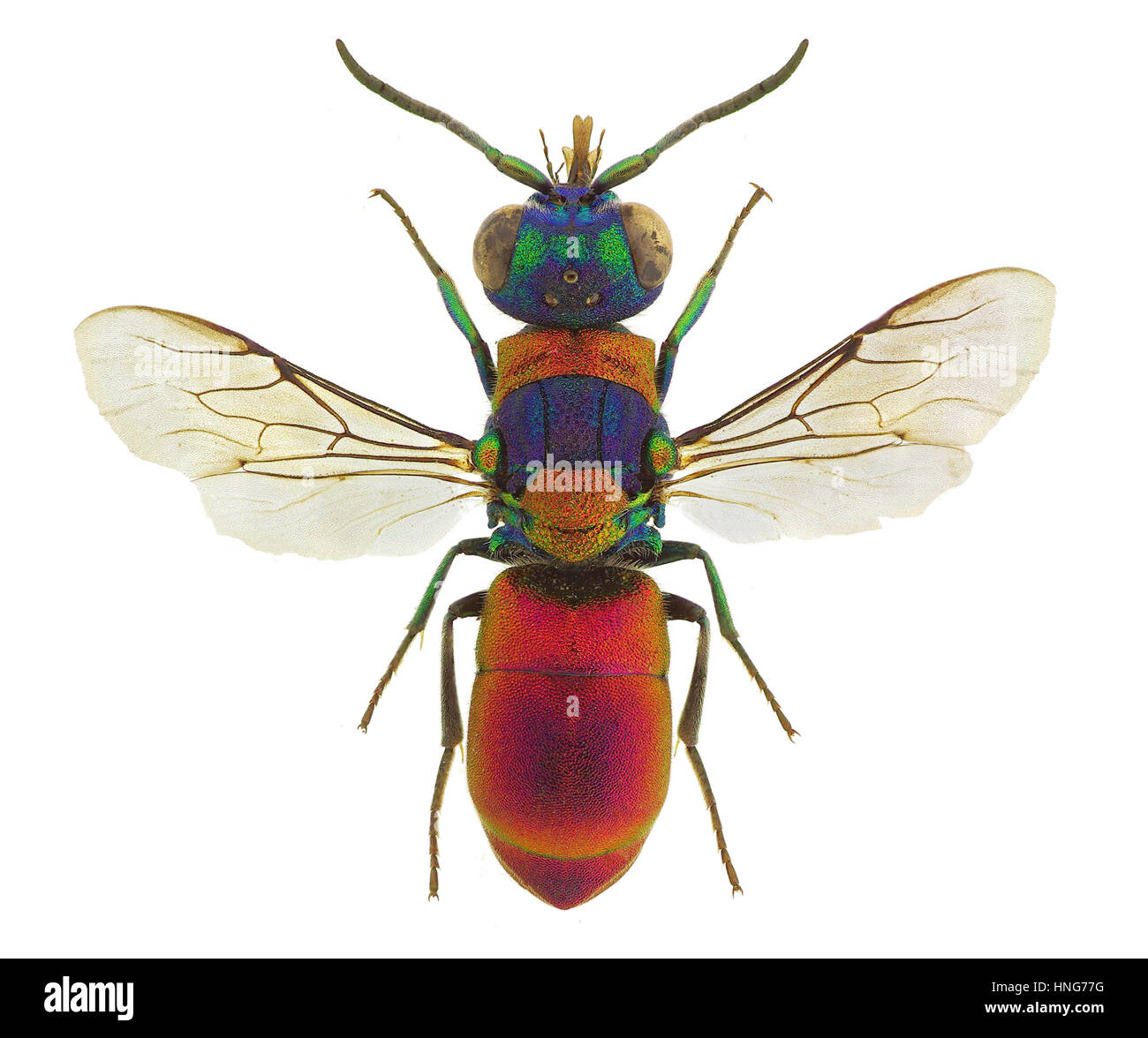 Pseudospinolia uniformis, a stunning cuckoo wasp from Europe - Stock Image