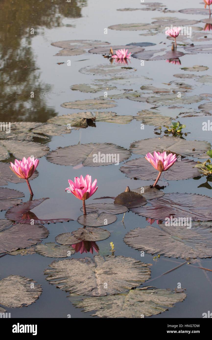Lotus flowerflowersinbloomlakeincentreof villageof stock lotus flowerflowersinbloomlakeincentreof villageof runruralsceneingujuratindiasociated with buddhismbuddhist mightylinksfo