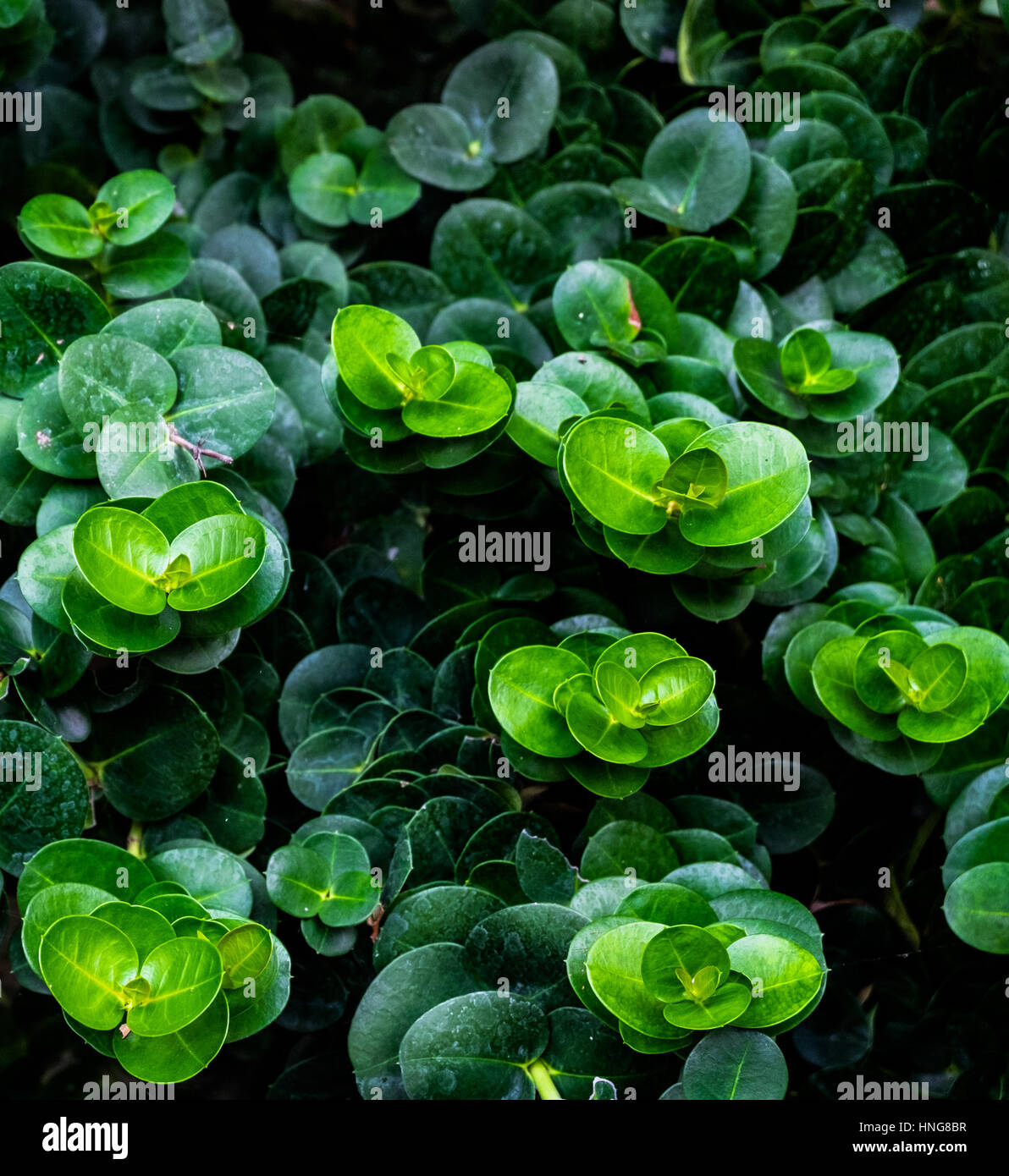 Group of belly button Peperomia, green gradation - Stock Image