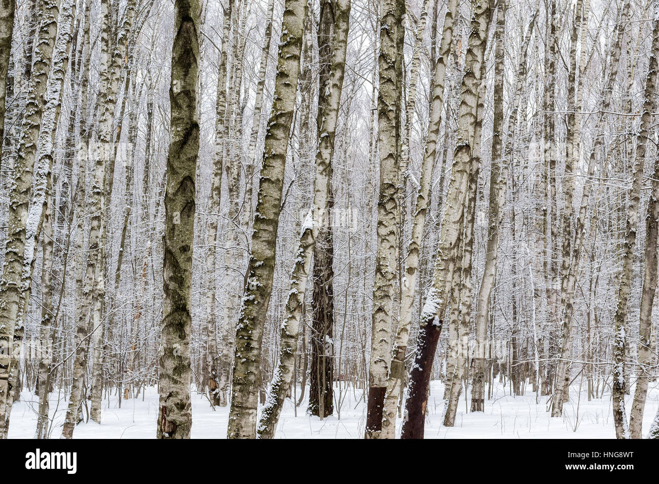 Snowy winter forest. - Stock Image