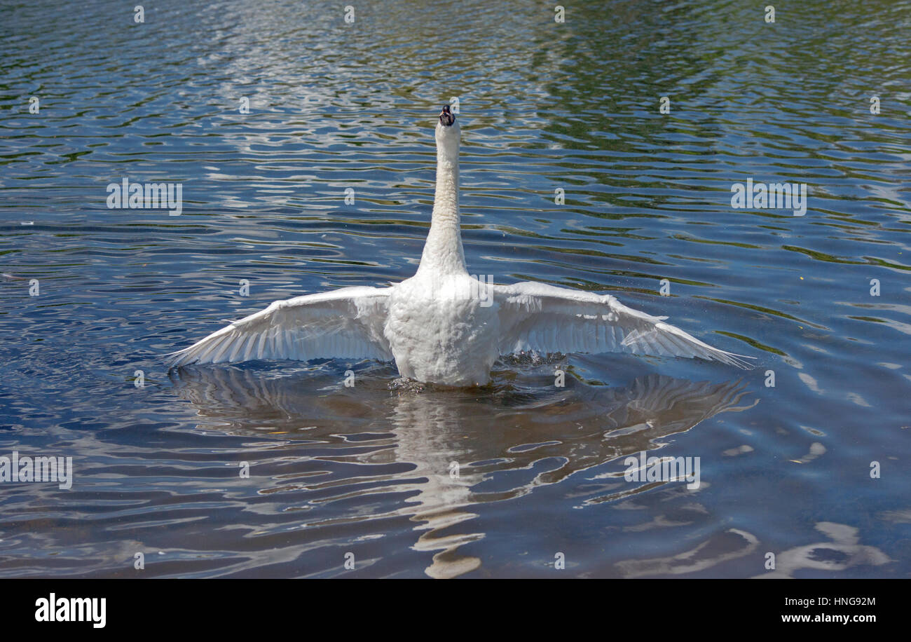 Mute Swan Spreading its wings out Stock Photo