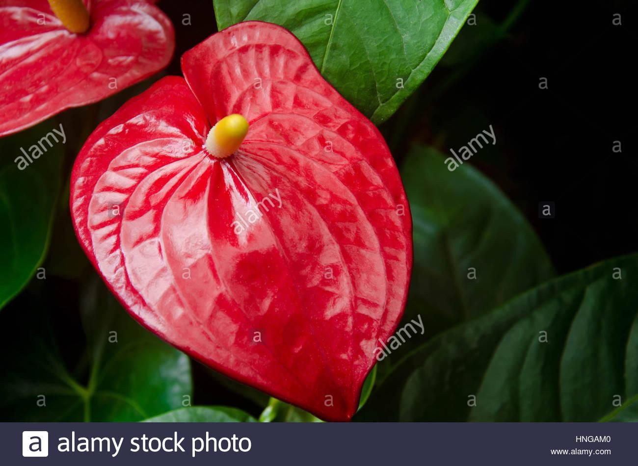 Red Anthurium - Stock Image