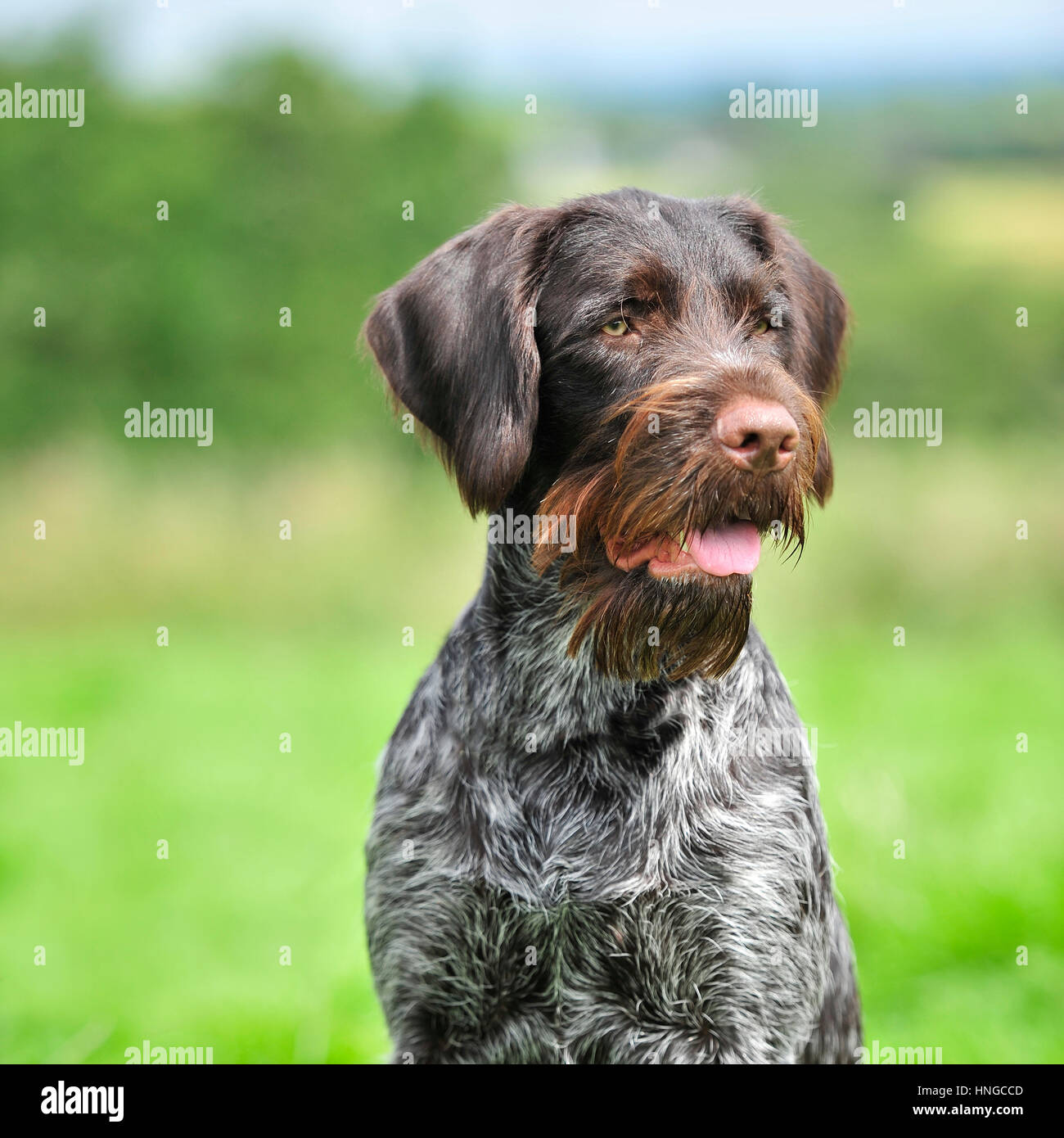 Gwp German Wirehaired Pointer Stock Photos & Gwp German Wirehaired ...