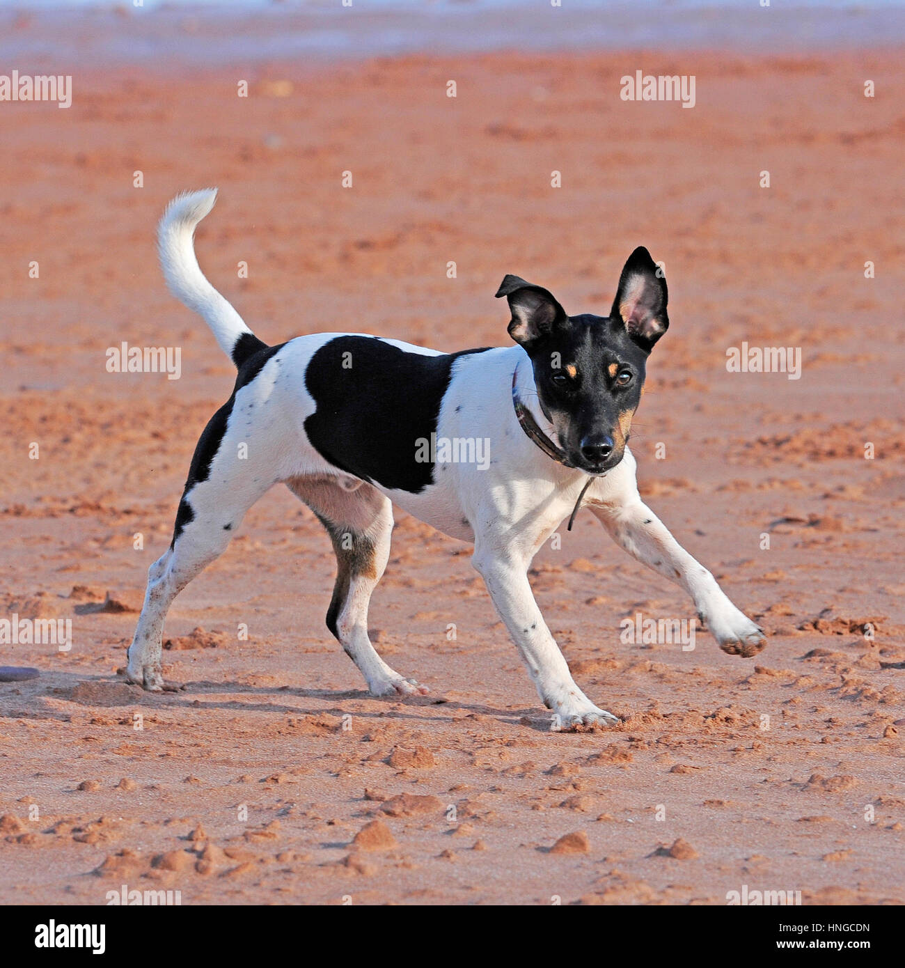 jack russell terrier dog - Stock Image