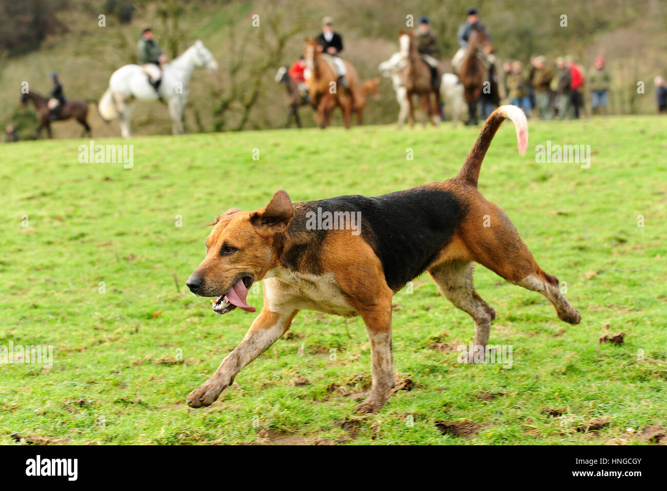 foxhounds hunting - Stock Image
