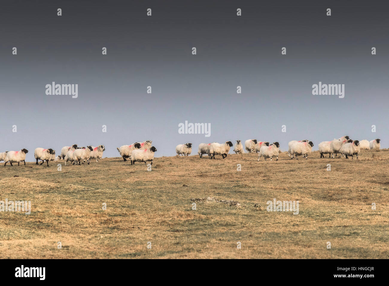 A flock of Scottish Blackface sheep on Rough Tor, Bodmin Moor in Cornwall. - Stock Image