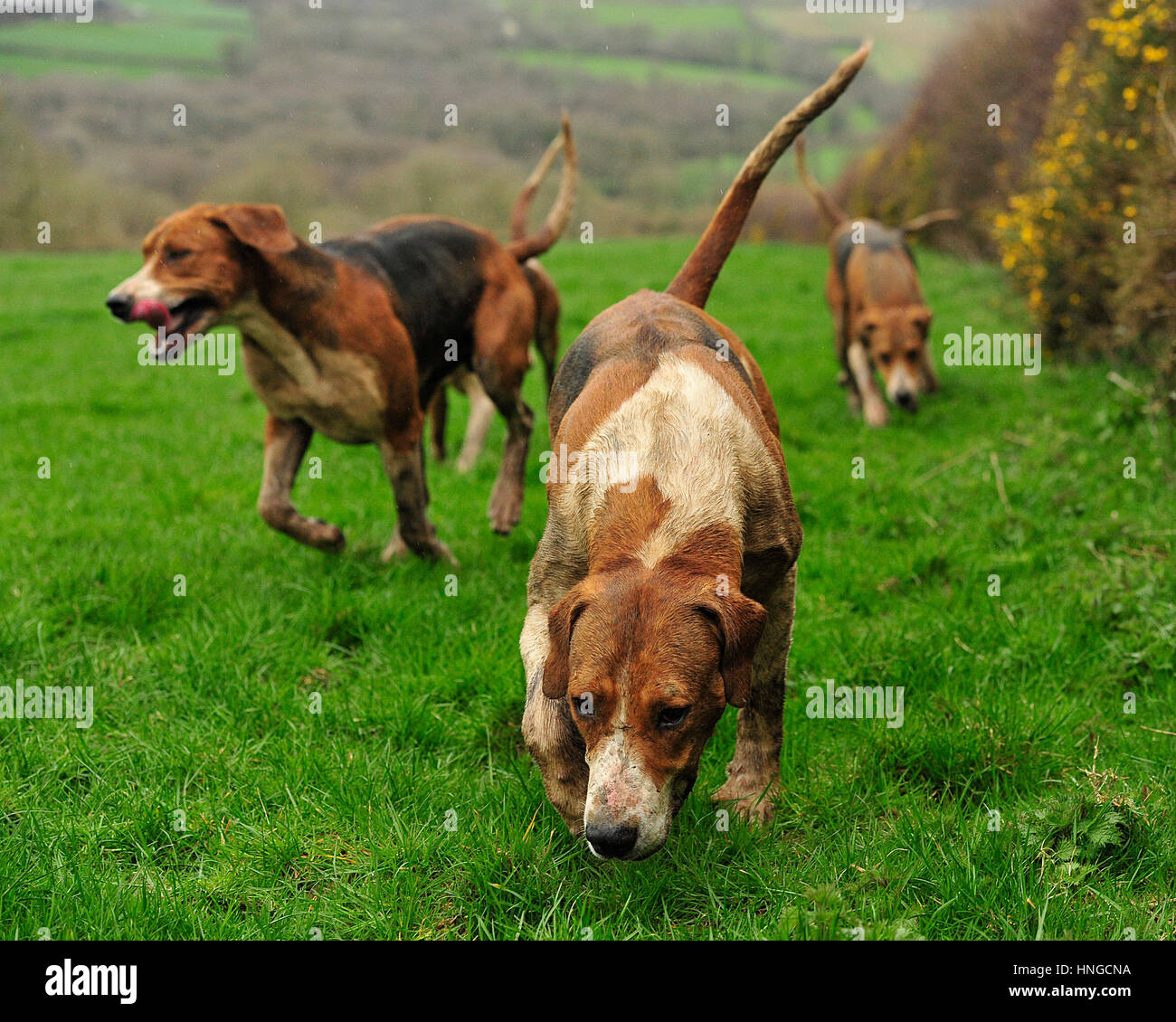 foxhouds following a scent - Stock Image