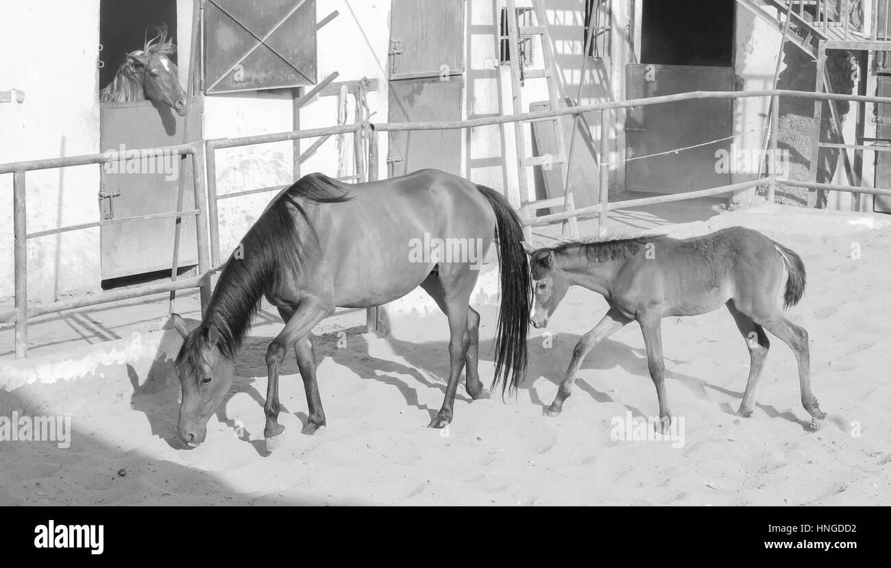 Arabian Horse in a sandy ranch/ featuring Arabian Horse in a sandy field in sunny day Stock Photo