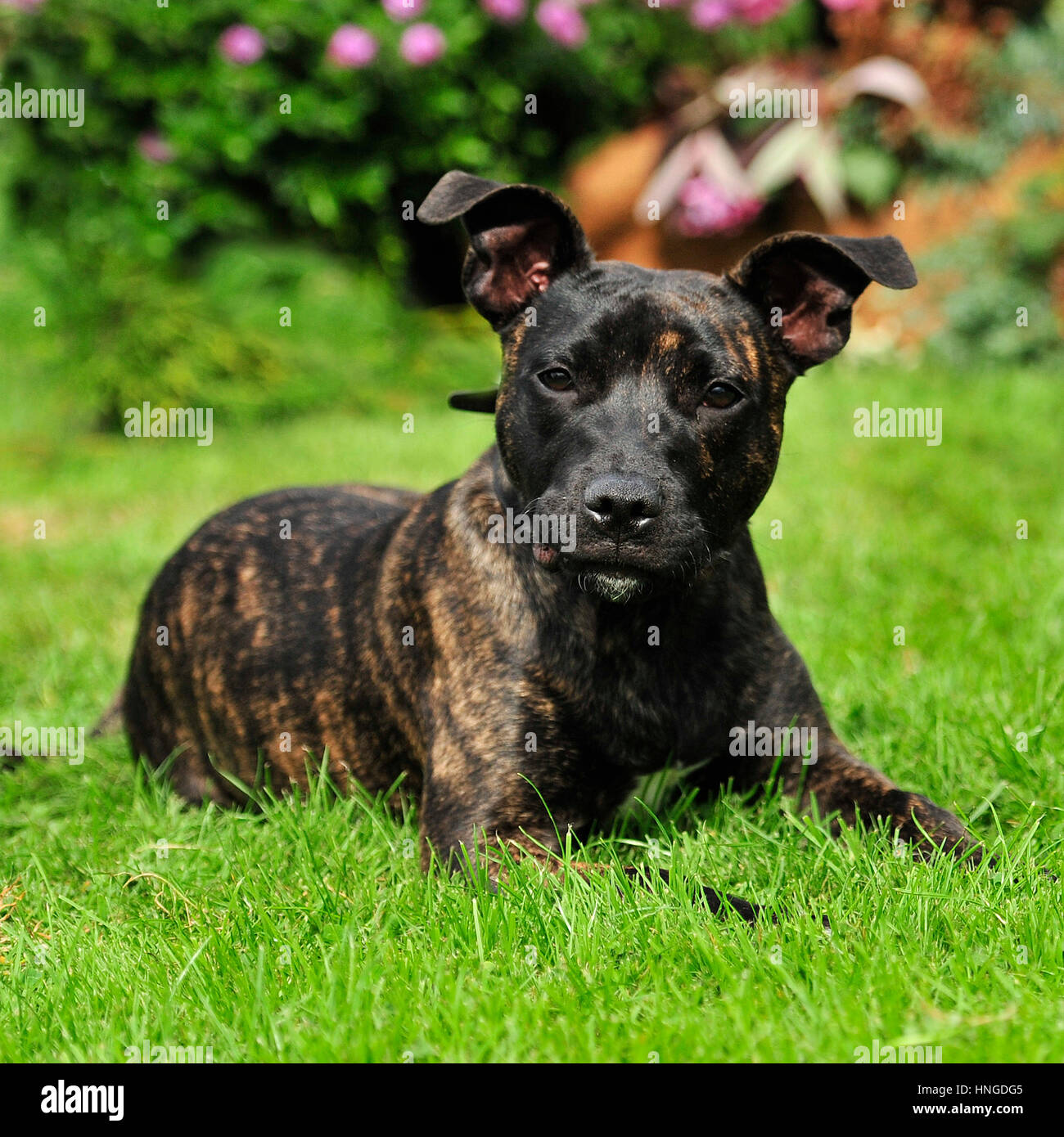 Brindle Staffordshire Bull Terrier Stock Photos Amp Brindle