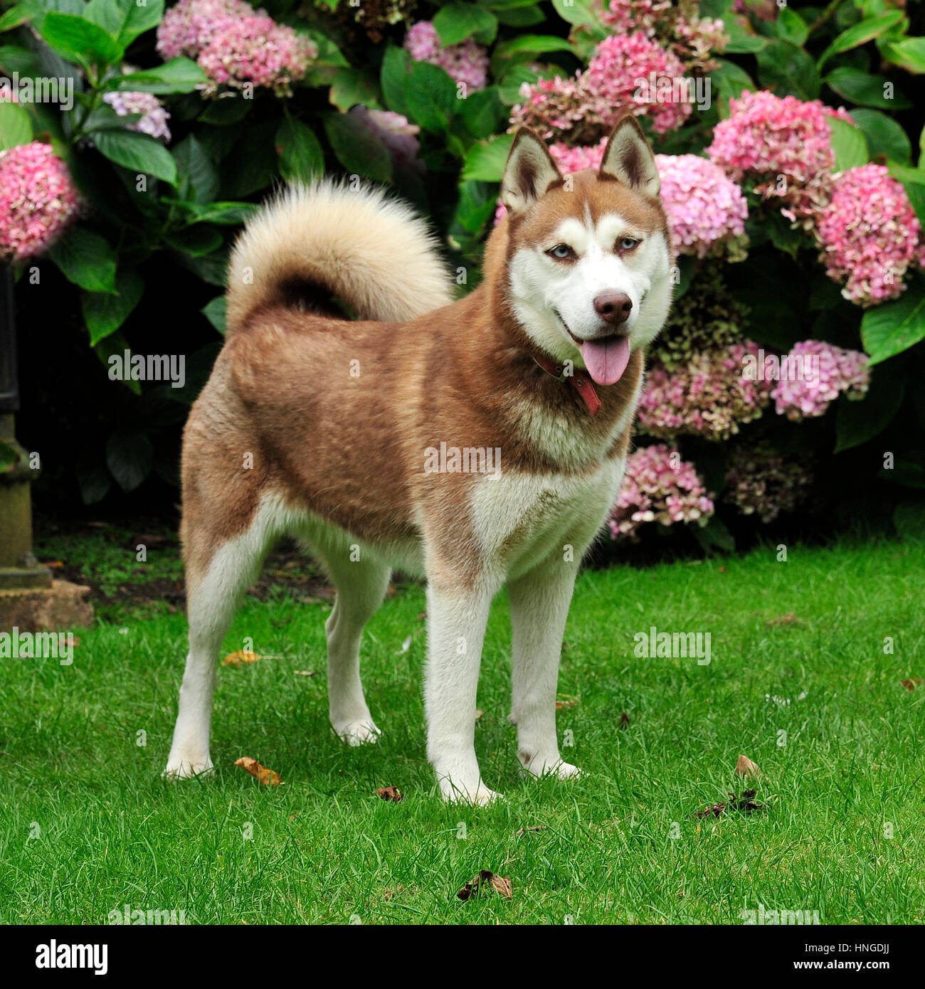 Red And White Siberian Husky Puppy