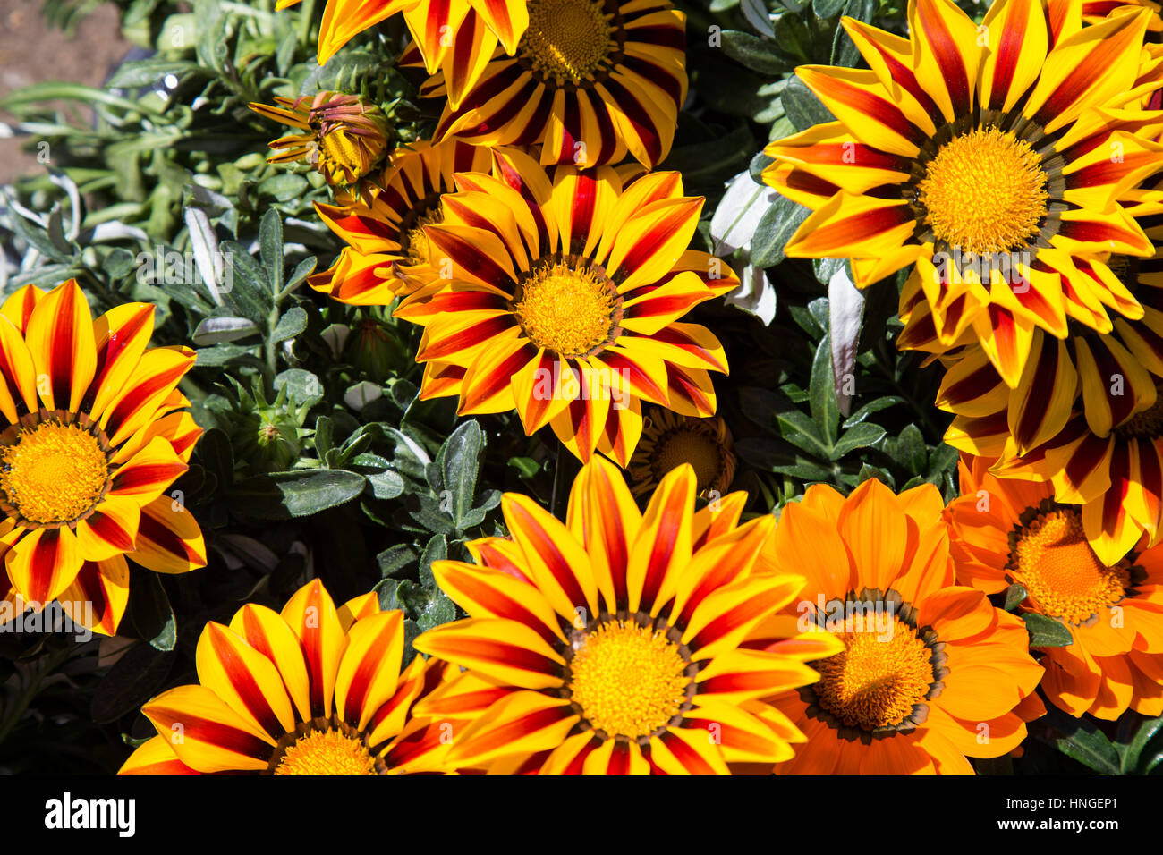 Gazania colored yellow and Red - Stock Image
