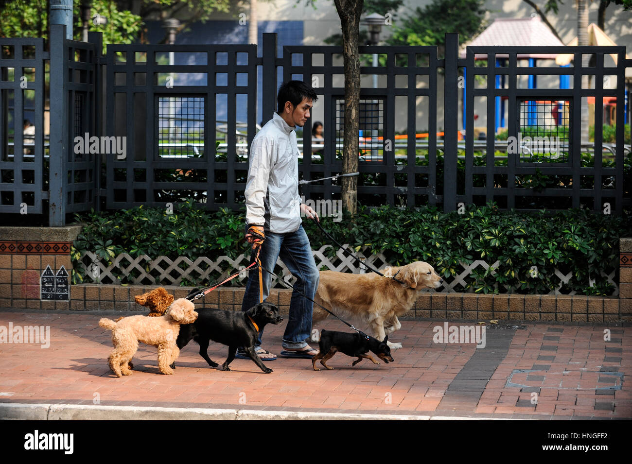 CHINA, Megacity Hong Kong, Kowloon, pedestrian with five dogs - Stock Image