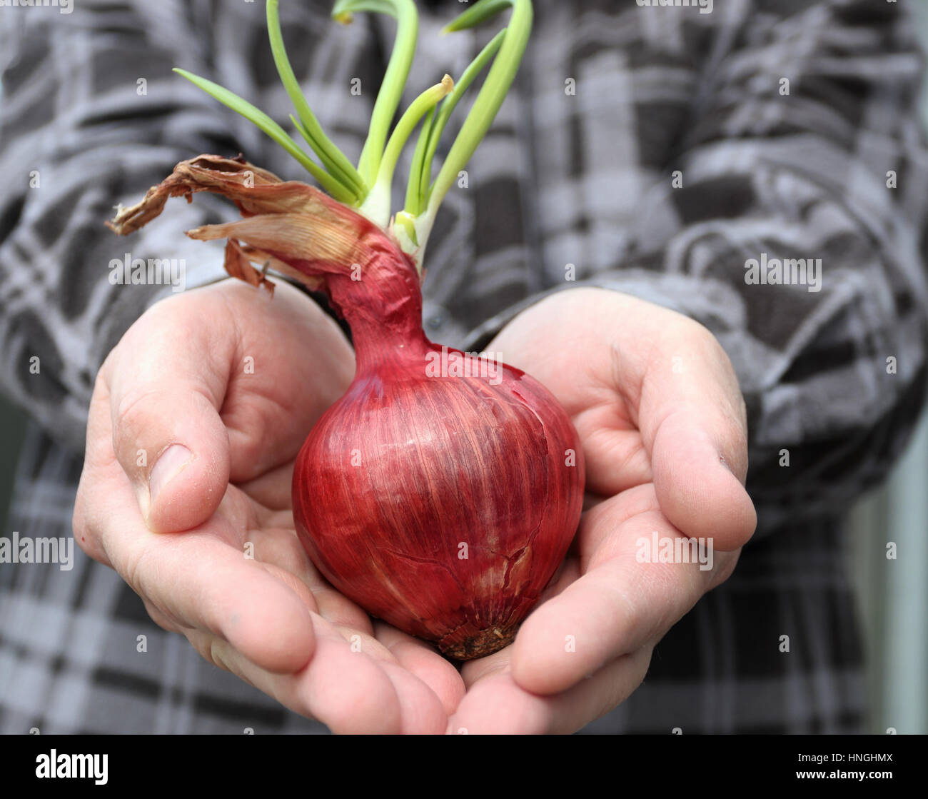 Hand holding Spanish onions with new shoots sprouting - Stock Image