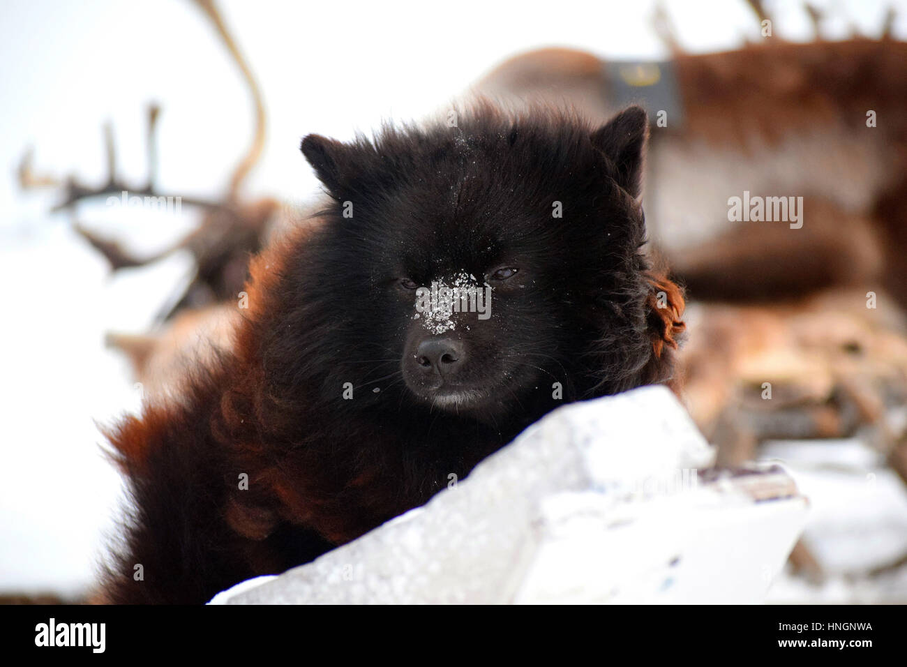 Laika dog at north siberia. - Stock Image