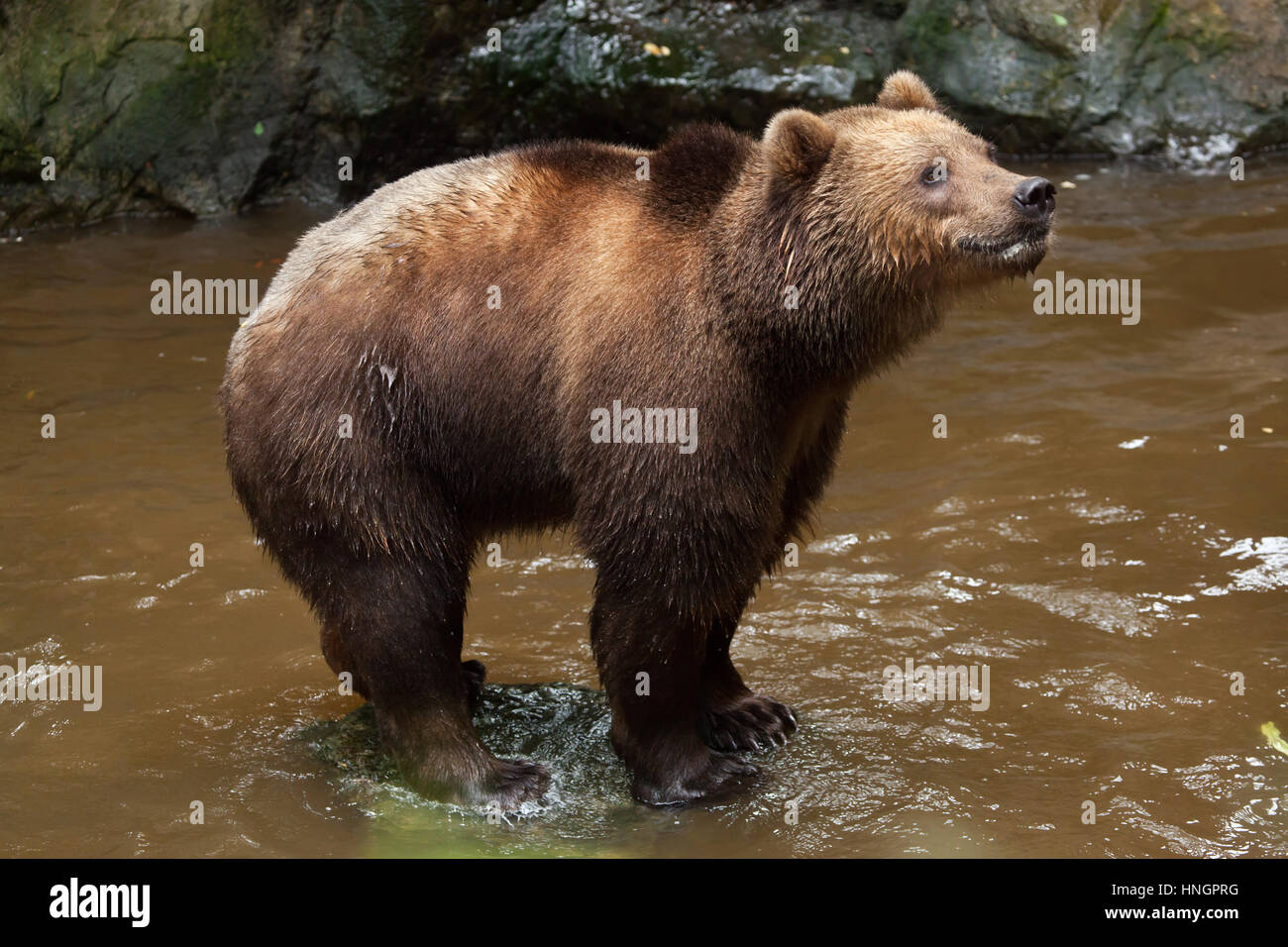 Kamchatka brown bear (Ursus arctos beringianus), also known as the Far Eastern brown bear at La Fleche Zoo in the - Stock Image