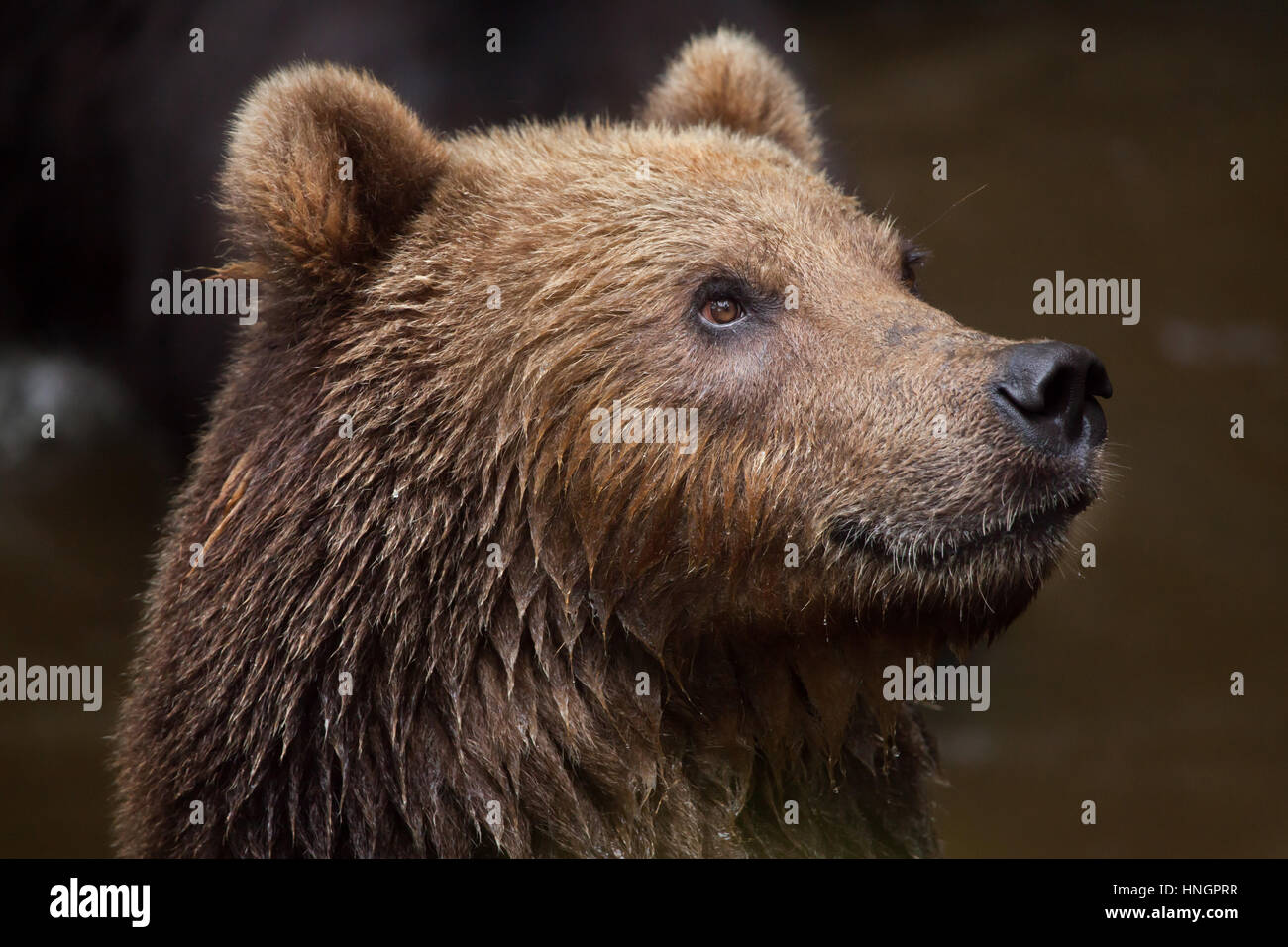 Kamchatka brown bear (Ursus arctos beringianus), also known as the Far Eastern brown bear. - Stock Image