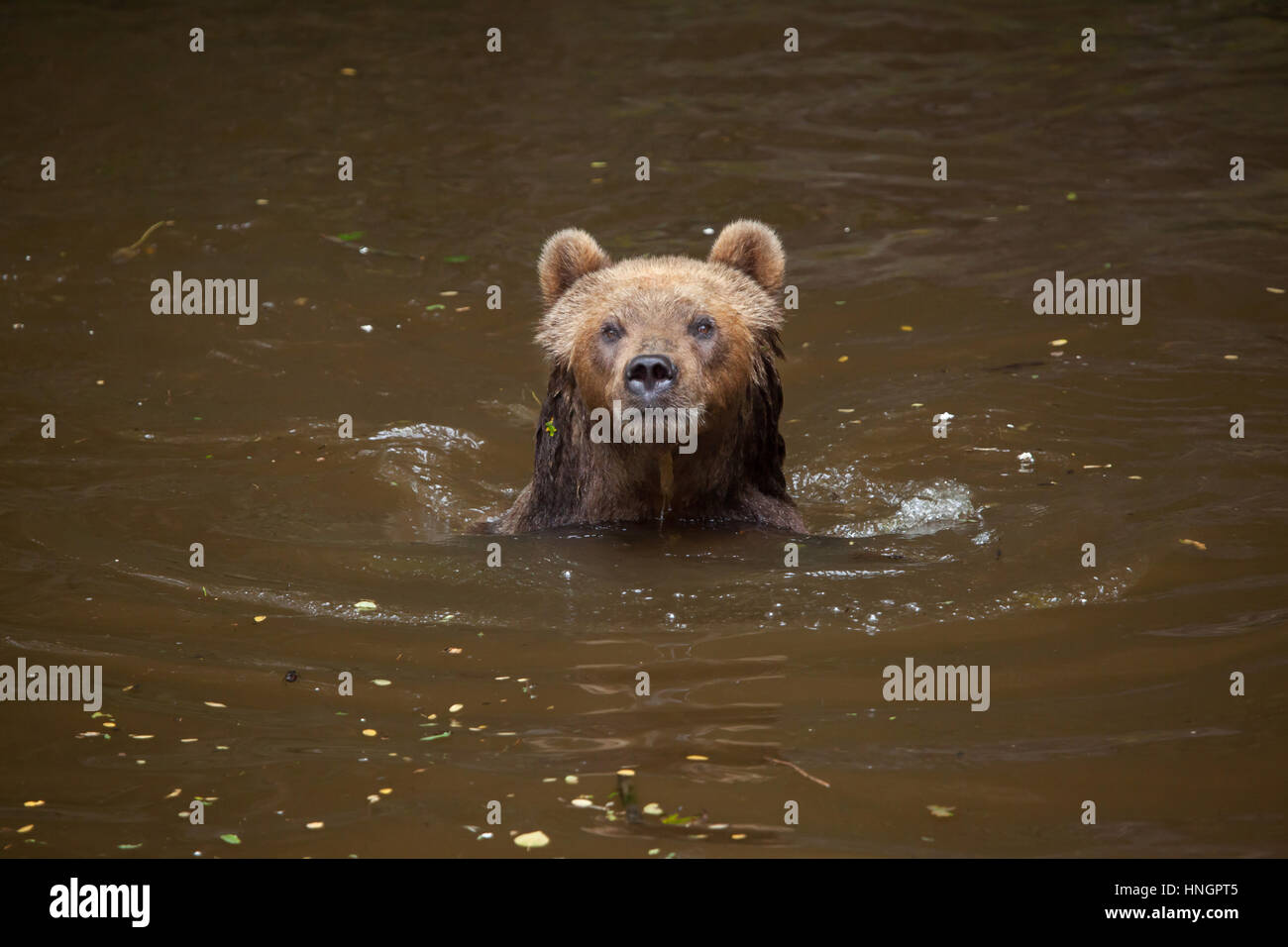 Kamchatka brown bear (Ursus arctos beringianus), also known as the Far Eastern brown bear swimming at La Fleche - Stock Image