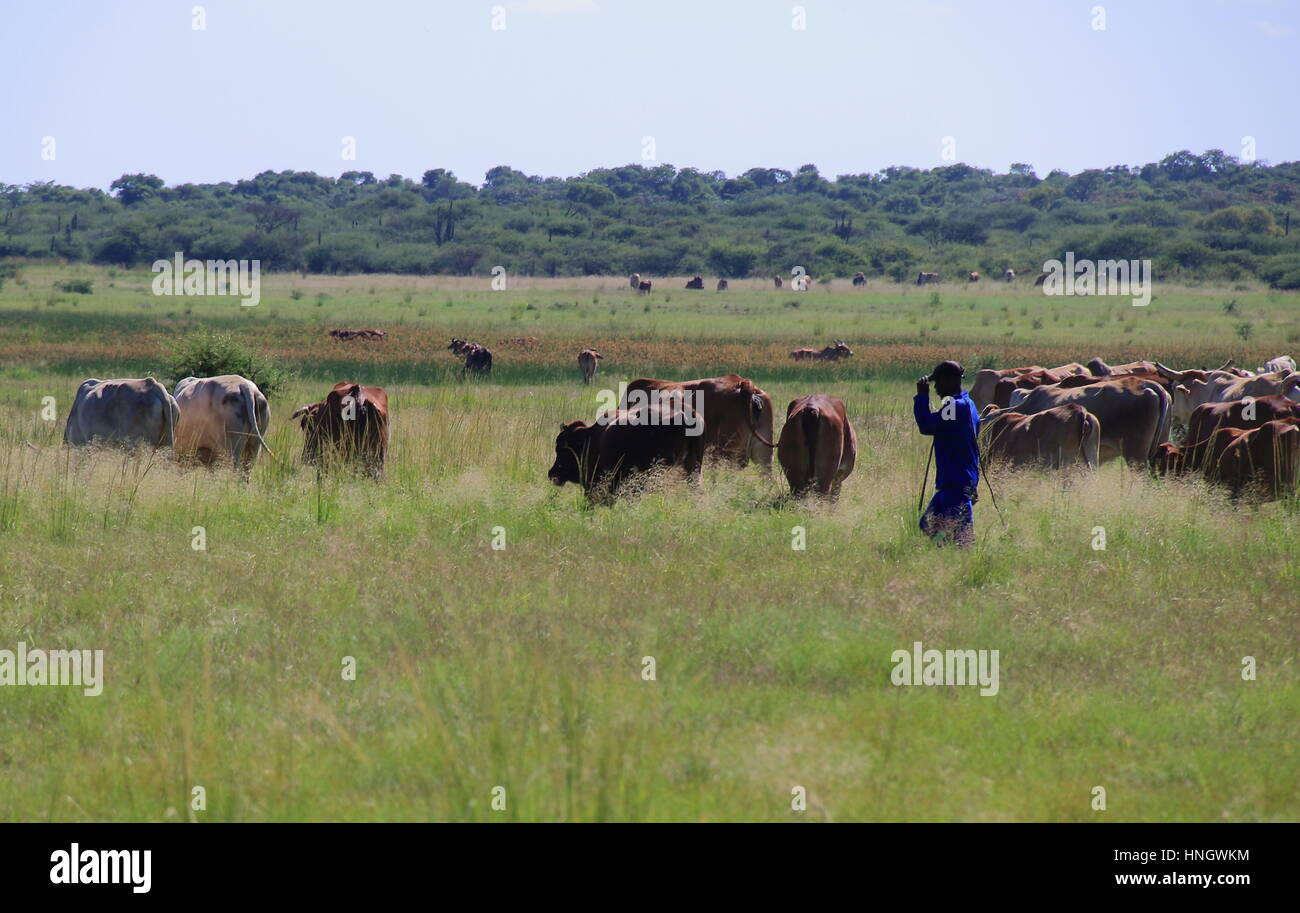 A herdsman and his cattle on a subsistence farm in rural South Africa - Stock Image