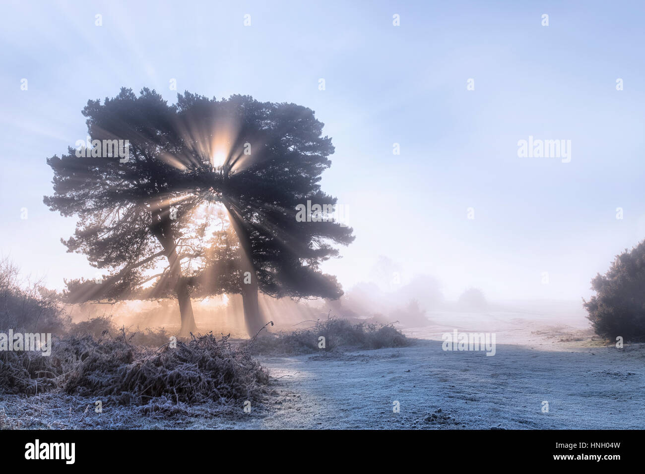 a tree in the fog on a frosty morning in Wilverley, New Forest, Hampshire, England, UK - Stock Image